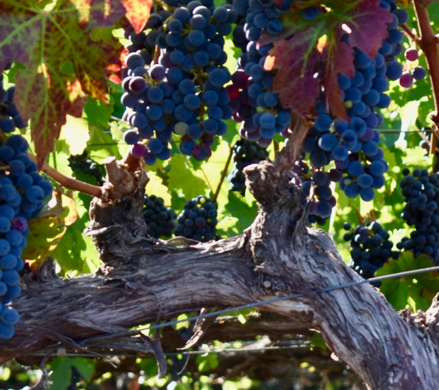 vine with branches and grapes